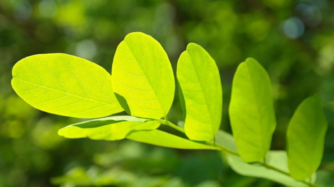 Extracción de los pigmentos fotosintéticos