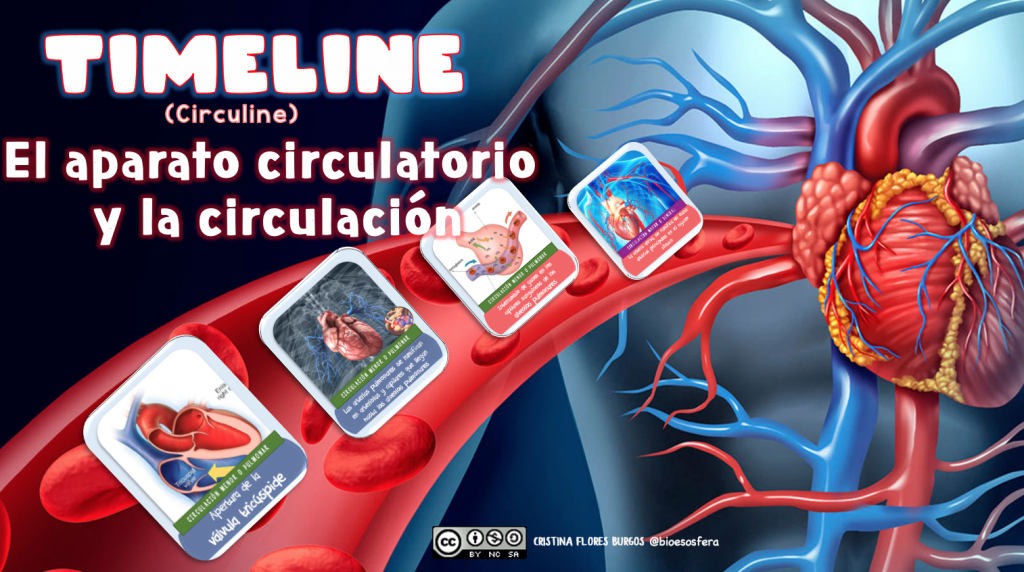 Timeline o «circuline» del SISTEMA CIRCULATORIO